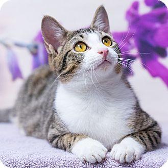 Domestic Shorthair Cat for adoption in Houston, Texas - Gavino