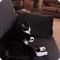 Domestic Shorthair Cat for adoption in Fairfax, Virginia - Yin