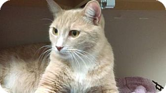 Domestic Shorthair Cat for adoption in Parma, Ohio - Charlie