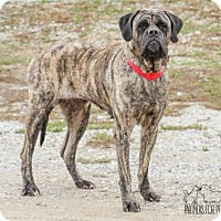 English Mastiff Dog for adoption in Troy, Illinois - Callipso