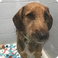 Hound (Unknown Type) Mix Dog for adoption in Tulsa, Oklahoma - Pita