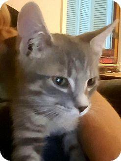American Shorthair Kitten for adoption in Pensacola, Florida - Willy