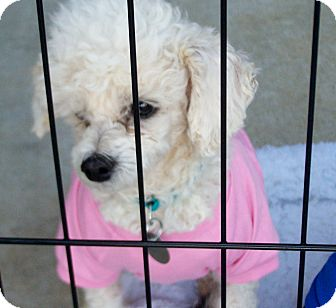 Poodle (Toy or Tea Cup) Mix Dog for adoption in Greensboro, Georgia - Angel