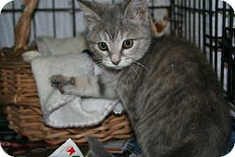 American Shorthair Kitten for adoption in Allentown, Pennsylvania - Bopeep