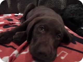 Labrador Retriever Puppy for adoption in Foster, Rhode Island - Bates Pup