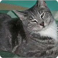 Adopt A Pet :: Sara Bella - Secaucus, NJ