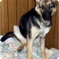 Adopt A Pet :: Sasha is ready!! - Toronto/Etobicoke/GTA, ON