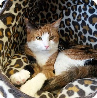 Calico Cat for adoption in bloomfield, New Jersey - Lourdes aka Lourdy