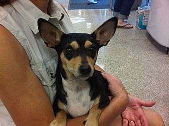 Miniature Pinscher/Terrier (Unknown Type, Medium) Mix Dog for adoption in Fresno, California - Jordan