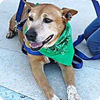 Adopt A Pet :: Levi - San Antonio, TX