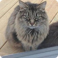 Domestic Longhair Cat for adoption in Central Islip, New York - Mocha