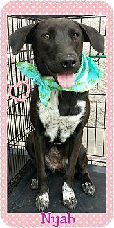 Labrador Retriever/Border Collie Mix Dog for adoption in Terrell, Texas - Nyah