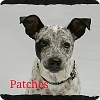 Adopt A Pet :: Patches - Old Saybrook, CT