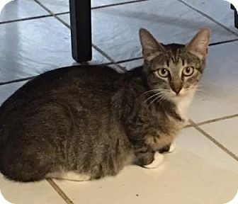 Domestic Shorthair Cat for adoption in Wichita, Kansas - Izzy