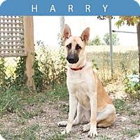 Adopt A Pet :: HARRY - Toronto, ON