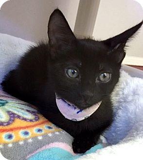 Domestic Longhair Kitten for adoption in Seal Beach, California - Kitten July