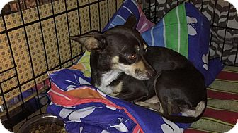 Chihuahua Mix Dog for adoption in West Palm Beach, Florida - Guido