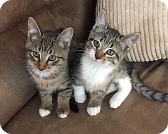 Domestic Shorthair Kitten for adoption in Burlington, Washington - Annabelle
