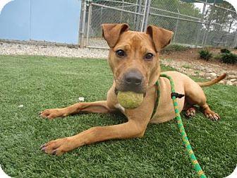 Boxer Mix Dog for adoption in Greensboro, North Carolina - Irwin