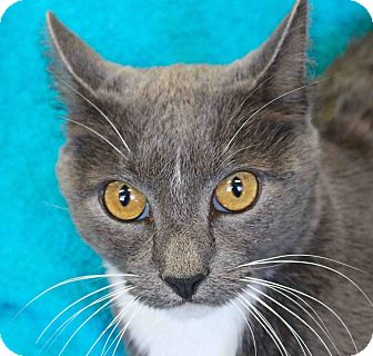 Domestic Shorthair Cat for adoption in Basehor, Kansas - Melanio