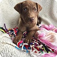 Adopt A Pet :: Cora (DE-Kim) - Newark, DE