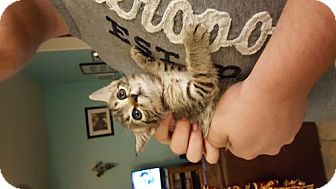 Domestic Shorthair Kitten for adoption in San Tan Valley, Arizona - Jennifer