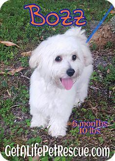 Maltese Mix Puppy for adoption in Wellington, Florida - Bozz