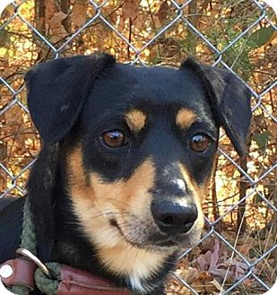 Feist Mix Dog for adoption in Harrisonburg, Virginia - Toby