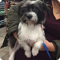 Shih Tzu/Chihuahua Mix Dog for adoption in N. Babylon, New York - Franky