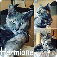 Domestic Mediumhair Cat for adoption in St Clair Shores, Michigan - Hermione