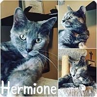 Adopt A Pet :: Hermione - St Clair Shores, MI