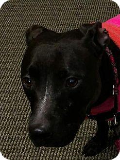 English Bulldog/Pit Bull Terrier Mix Dog for adoption in Thomasville, North Carolina - Mallie