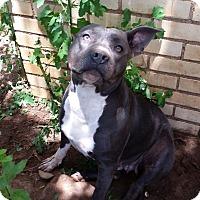 Pit Bull Terrier Mix Dog for adoption in Lubbock, Texas - Tagalong