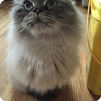 Adopt A Pet :: Versace - Columbus, OH
