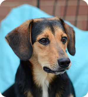 Media, PA - Beagle/Dachshund Mix. Meet Theo a Dog for ...