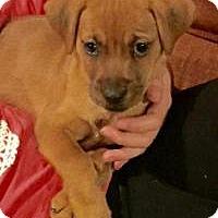 Adopt A Pet :: Ruby - Marlton, NJ