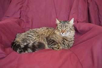 Domestic Mediumhair Cat for adoption in O'Fallon, Missouri - Cleopatra