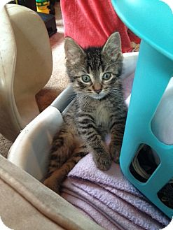Domestic Shorthair Kitten for adoption in Berkeley Hts, New Jersey - Blaze