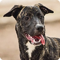 Catahoula Leopard Dog/American Pit Bull Terrier Mix Dog for adoption in El Centro, California - Pepper