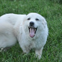 Great Pyrenees Dog for adoption in Waggaman, Louisiana - Camellia
