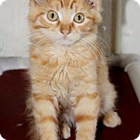Domestic Mediumhair Kitten for adoption in Grinnell, Iowa - Naranja