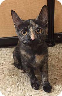 Domestic Shorthair Cat for adoption in Apex, North Carolina - Brindle