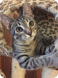 Domestic Shorthair Kitten for adoption in Davison, Michigan - Ava