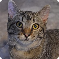 Domestic Shorthair Cat for adoption in Brownsboro, Alabama - Venus