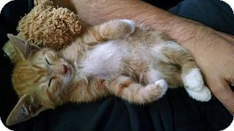 Domestic Shorthair Kitten for adoption in Hillside, Illinois - Kimmie