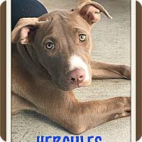 Adopt A Pet :: Hercules - Tempe, AZ