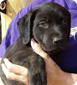 Labrador Retriever Mix Puppy for adoption in Phoenix, Arizona - Ross