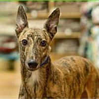 Adopt A Pet :: Greta - Aurora, IN
