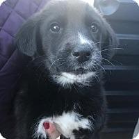 Adopt A Pet :: Cora - pending - Manchester, NH