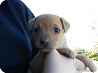 German Shepherd Dog Mix Puppy for adoption in Atascadero, California - Taylor